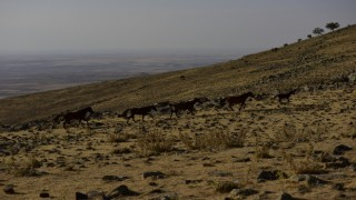 Yılkı Atları Yardım Eli Bekliyor
